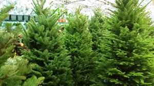 alaska_christmas_trees