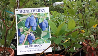 Honeyberry