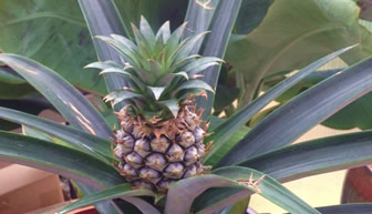 pineapple_trees
