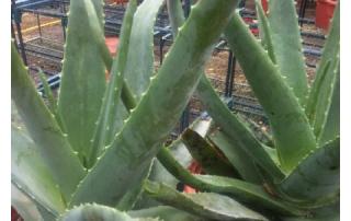 Striking Aloe Vera can be used for Medicinal Purposes.