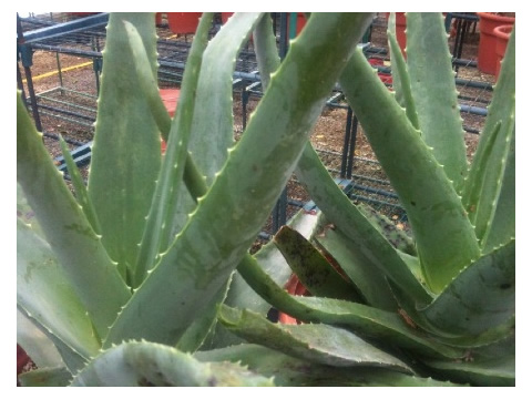 Striking Aloe Vera can be used for Medicinal Purposes.