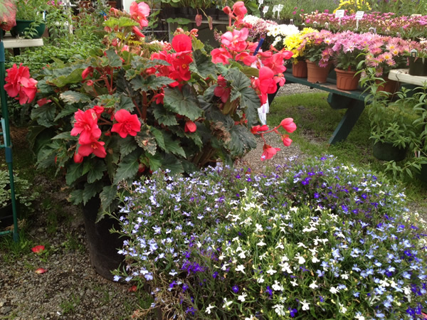 Stunning Begonias behind a mound of Techno Lobelia
