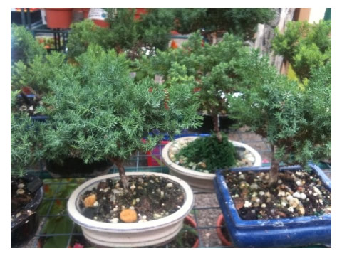 Our Juniper Bonsai are 5-6 years old and are capable of growing in low light areas.