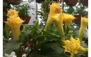 Datura for that exotic look.