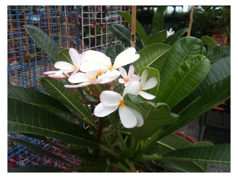 Delicately scented Dwarf Plumeria