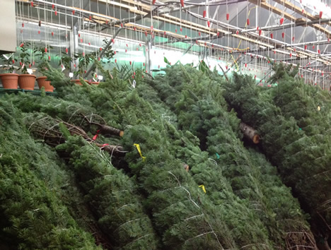 anchorage christmas trees