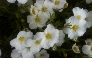 Arenaria grow well in either sun or shade.