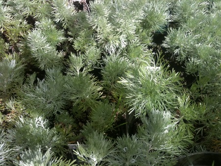 Artemsia (Silver Mound) grow well in full sun and accent a color switch in any garden.