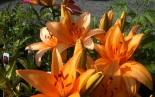 Asiatic Lilies are our Specialty! We have 25+ varieties imported from Holland.