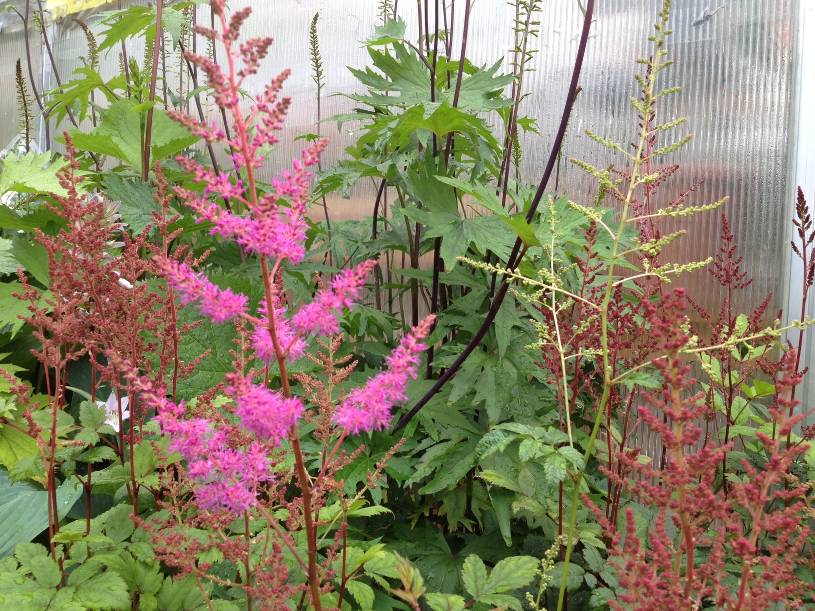 Astilbe and Ligularia