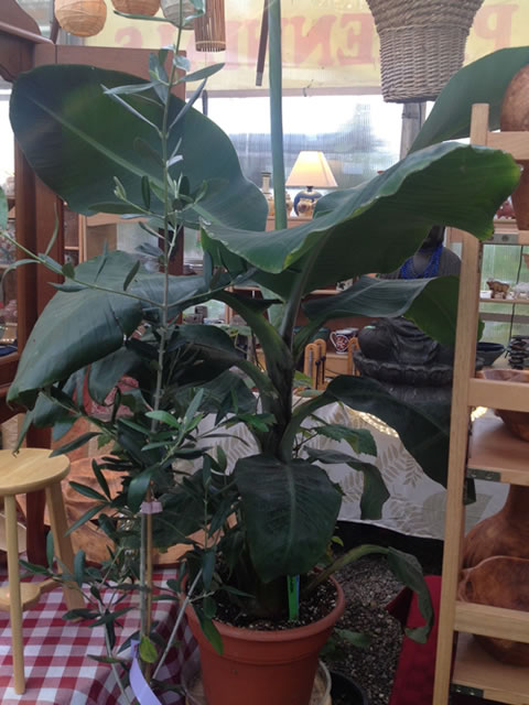Our Banana Trees grow quickly, and will produce fruit in four years.