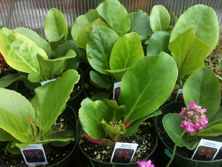 Bergenia (Pigsqueak) is best grown in sun or shade, and remains evergreen under the snow.