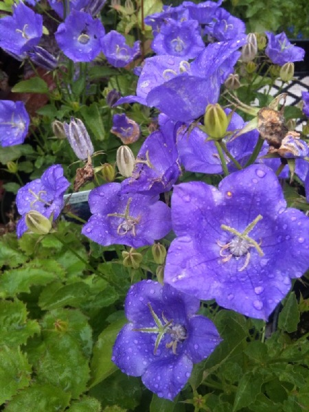 Campanula grow best in sun or part shade, and bloom in beautiful bell shaped flowers.