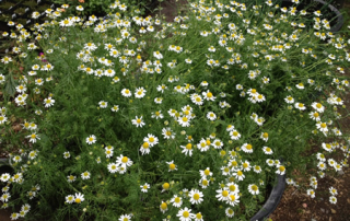 Chamomile can be used for culinary and medicinal purposes
