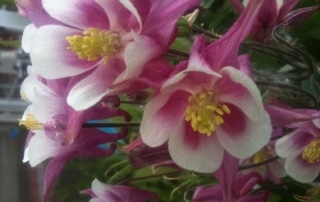 Columbine (Aquilegia) grow well in sun or shade, and will rebloom throughout the season.