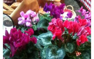 Cyclamen grow well in cool areas, making them ideal Alaskan Houseplants.