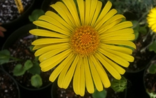 Doronicum grow well in sun or part shade.