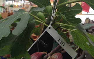 Fig Trees, soon to produce home-grown figs.