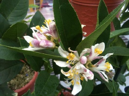 Meyer's Lemon blossoms will fill a room with fragrance.