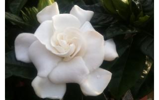 Wonderfully scented Gardenias.