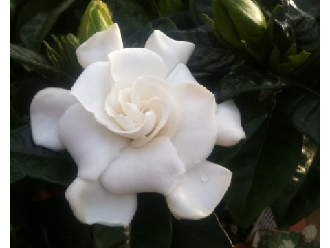 Wonderfully scented Gardenias.
