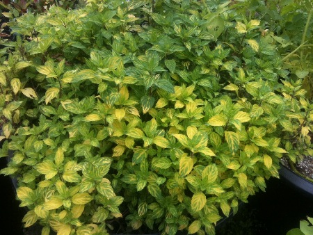 Beautiful Golden Ginger Mint.
