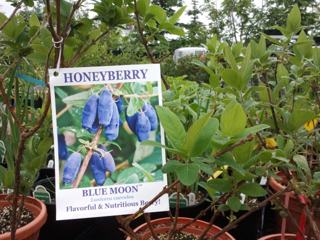 Honeyberries are hardy in Alaska.