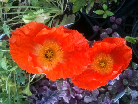 Icelandic Poppies are extremely hardy, and grow well in full sun.