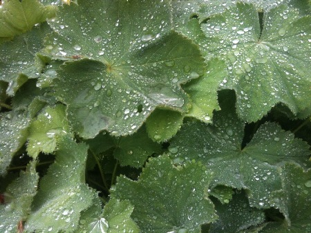 Lady's Mantle are mounding, large leaved perennials which grow well in sun or part shade.