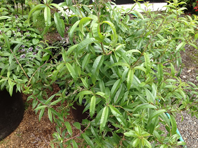 lemon_verbena_anchorage