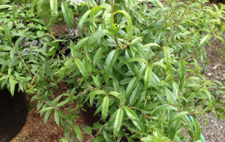 Lemon Verbena is fast and easy to grow, and has a wonderfully strong aroma