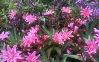 Lewisia is a great perennial for sun or shade, with beautiful flowers that last all season long.