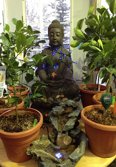 One of our magnificent Buddha Fountains on display amongst 5 year old Meyer's Lemon Trees.