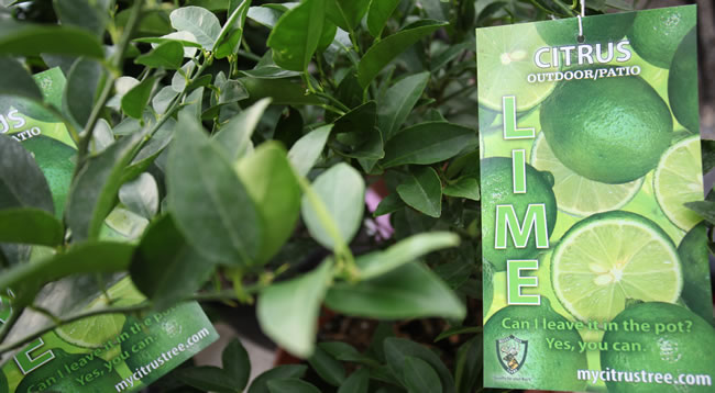 Lemon and lime trees mile 5 2 greenhouse gift shop for What does a lemon tree seedling look like