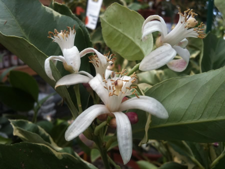 Lemon, Lime, and Orange Trees bloom year-round with a sweet smelling fragrance.