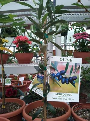 olive_trees_alaska