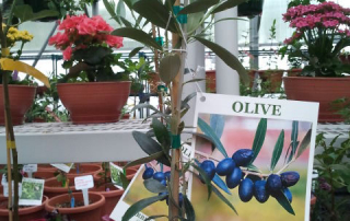 Olives! Grow them outside for the summer, indoors for the winter, and celebrate your Olive harvest by having a martini!
