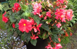 Nonstop Pink Begonias!