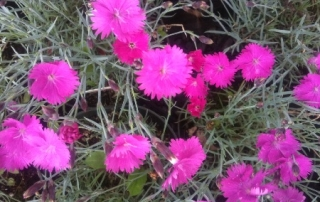 Dianthus is a perennial groundcover that grows best in full sun.