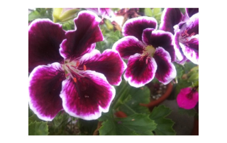 Martha Washington Geraniums can be grown indoors for the Winter.