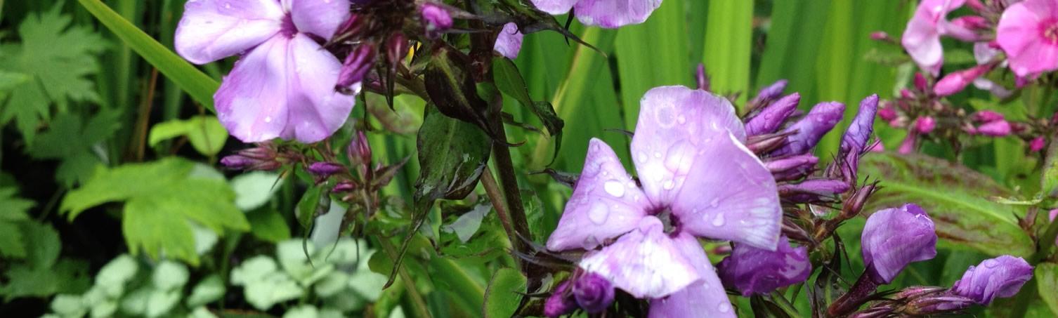 purple_flowers_alaska