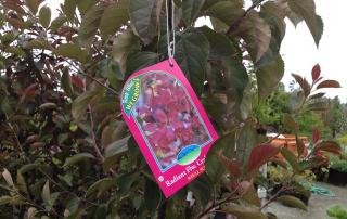 Radiant Flower Crabapple