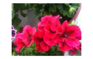 Vibrantly Colored Martha Washington Geraniums.