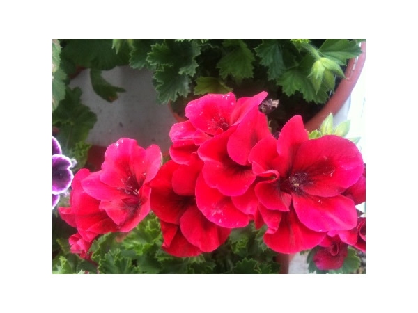Vibrantly Colored Martha Washington Geraniums.