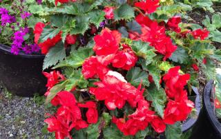 Nonstop Red Begonias!