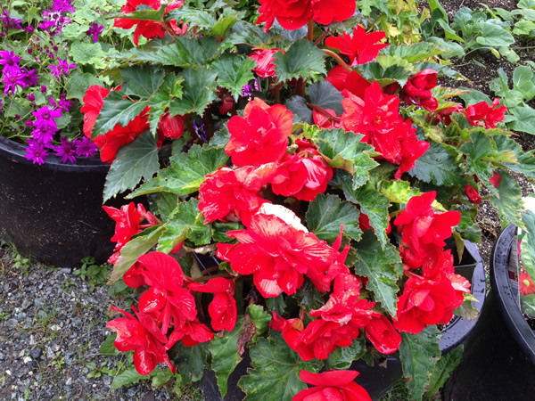 Nonstop Red Begonias!