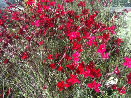 Dianthus comes in a variety of sizes and vibrant colors.
