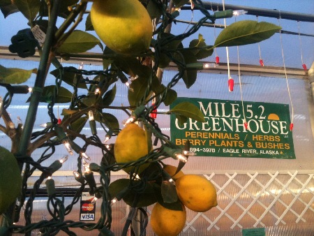 We indeed grow lemons inside at Mile 5.2 Greenhouse, they can even be used as Christmas trees.