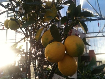 Ripe Meyer's Lemons. Each Tree produces fruit that ripens in 9 months.