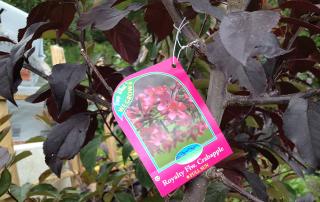 Royalty Flower Crabapple